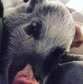 Grumpy mini pig doesn't like to be pet during nap time