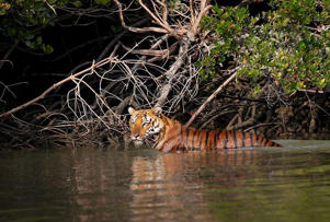 The world's largest mangrove trees, the Royal Bengal tiger and many more endangered species can be found in the Sundarbans forests. The biosphere is located at the mouths of the Ganges and Brahmaputra rivers. Best Time To Visit: September to March: Sundarbans National Park - For Nature Lovers