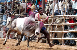 A bull tamer tackles a raging bull at a bull taming festival called Jallikattu in Alanganallur, about 575 kilomters (359 miles) south of Chennai, India.