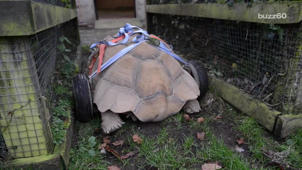 Exhausted From Too Much Sex, Tortoise Gets a Pair of Wheels