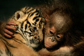 CISARUA, INDONESIA - FEBRUARY 26:  Dema (male) the 26-day-old endangered Sumatran Tiger cub cuddles up to 5-month-old female Orangutan, Irma at the 'Taman Safari Indonesia' Animal Hospital, on February 26, 2007 in Cisarua, Bogor Regency, West Java, Indon