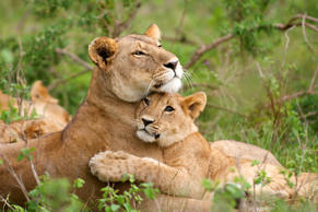 A tender image of a lioness (Panthera leo) and its young cub, happy together in an affectionate hug. Masai Mara, Kenya.