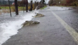 Salmon cross flooded road in Washington State