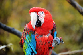 Macaw-Papagei