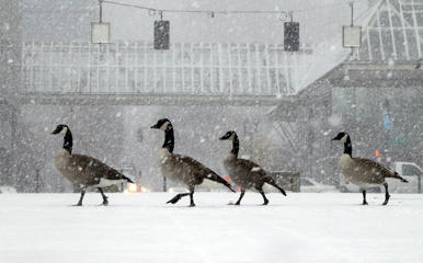 Geese walk along the snow covered waterfront park through heavy snowfall as the first winter storm of the season hits the area in Portland, Ore., Thursday, Dec. 8, 2016.