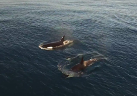 Huge number of Orcas spotted in Orange County