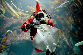 A diver in a Santa Claus costume feeds a ray at the Multimar Wattforum aquarium in Toenning, northwestern Germany, on December 2, 2016. / AFP / dpa / Carsten Rehder / Germany OUT        (Photo credit should read CARSTEN REHDER/AFP/Getty Images)