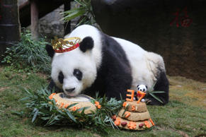 Basi, the oldest captive giant panda alive, eats a cake as people celebrate its 37 birthday, in Fuzhou, Fujian province, China, January 18, 2017. China Daily/via REUTERS ATTENTION EDITORS - THIS IMAGE WAS PROVIDED BY A THIRD PARTY. EDITORIAL USE ONLY. CHINA OUT. NO COMMERCIAL OR EDITORIAL SALES IN CHINA. TPX IMAGES OF THE