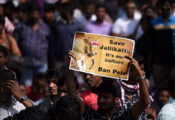 Why Jallikattu is close to every Tamilian?
