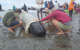 Volunteers care for one of the stranded pilot whales.