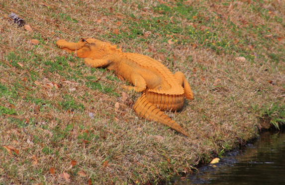 Slide 1 of 28: In a photo provided by Stephen Tatum, an orange alligator is seen near a pond in Hanahan, S.C. Photos show the 4- to 5-foot-long alligator on the banks of a retention pond at the Tanner Plantation neighborhood. Jay Butfiloski with the South Carolina Department of Natural Resources says the color may come from where the animal spent the winter, perhaps in a rusty steel culvert pipe. Experts say the alligator will shed its skin and probably return to a normal shade soon.  (Stephen Tatum via AP)