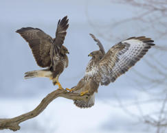VARIOUS Common buzzards (Buteo buteo), quarrel over perch, biosphere area, Swabian Jura, Baden-Wuerttemberg, Germany