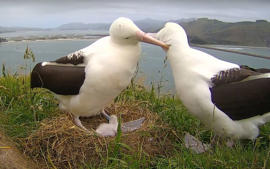 Two albatross with the sick chick at the Otago sanctuary.
