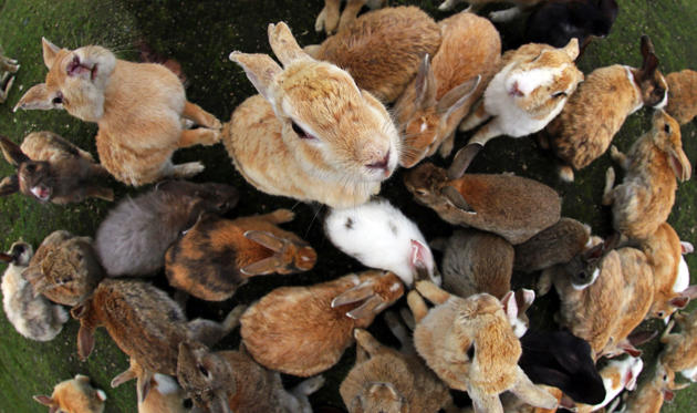 Diapositiva 1 de 14: The Rabbits of Okunoshima Island in Japan - Jul 2015 The rabbits of Okunoshima known as Rabbit Island in Japan which roam wild on a small island with no natural predators and where dogs and cats are banned. They have grown used to tourists who they mob f