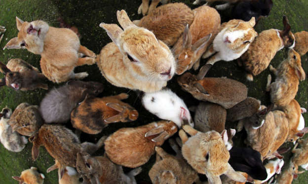 the rabbits new australians and romulus In australia's war against rabbits, brian cooke details the emergence of rabbit hemorrhagic disease (rhd) in asia and europe and subsequent efforts to introduce rhd virus into australia and new zealand for rabbit control in the 1990s.
