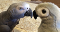 Einstein the Parrot falls in love with toy parrot