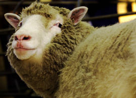"AP Feed: Scientists in Scotland announced they had succeeded in cloning an adult mammal, producing a lamb named ""Dolly."" (Dolly, however, was later put down after a short life marred by premature aging and disease.)   http://www.onthisday.com/events/february/22  http://on-this-day.com/onthisday/thedays/alldays/feb22.htm  Generic image of Dolly, Reuters caption: The world's first clone of an adult animal, Dolly the sheep, looks at photographers during a photocall at the Roslin Institute in Edinburgh January 4, 2002. Dolly, created by a team of genetic scientists in 1996, has contracted arthritis in her left hind leg at the hip and the knee."