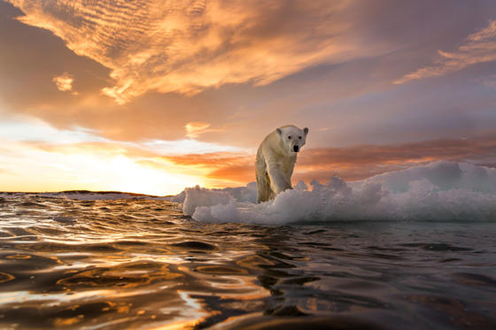 Slide 1 of 35: Canada, Nunavut Territory, Repulse Bay, Polar Bear (Ursus maritimus) stands on melting sea ice at sunset near Harbour Islands