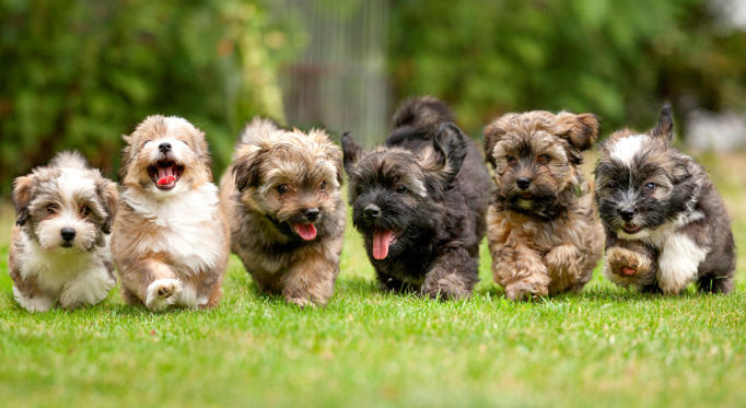 Slide 1 of 11: Little puppies running in a row on green grass.