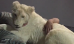 Young white lion cuddles with caretaker