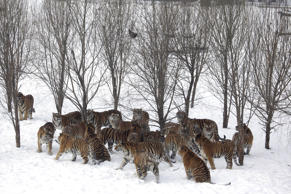 Endangered Siberian tigers gather under a tress where a wild bird that was tossed by the game ranger flew out of reach in the Harbin Tiger Park in Harbin in northeastern China's Heilongjiang province, Friday, Jan. 8, 2010.