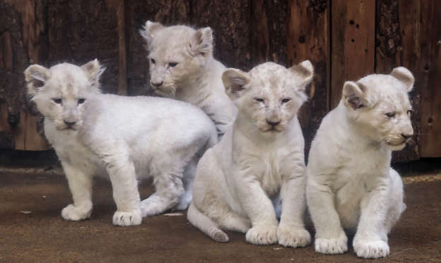 Slide 1 of 34: Four rare white lion cubs sit in their enclosure at the zoo in Magdeburg, Germany, Tuesday, Feb. 21, 2017. Keepers weighed the three males and one female and carried out health checks on the cubs. The seven-week-old lions weigh between 8 and 11 kilograms each and have developed splendidly. (AP Photo/Jens Meyer)