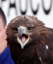 Eagles trained to hunt drones