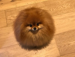 "This ""melting"" Pomeranian is taking over Twitter."
