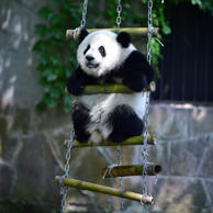 One of the twin giant pandas plays during the twins' 1-year-old birthday party at Chongqing Zoo on July 11, 2017 in Chongqing, China.