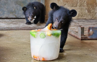 A black bear licks an ice block with frozen fruit at Yantai zoo as high temperature hits Yantai on July 22 in Yantai, Shandong Province of China.