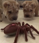 Puppies take on robot spider