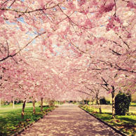 View of blossom cherry trees in Denmark, Copenhagen,