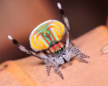 Colourful spider's funny dance