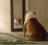 English bulldog is quite confused by his own reflection