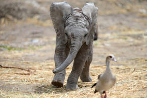 A two-month-old unnamed male baby elephant chases a bird at the Africam Safari Zoo in Puebla, Mexico, July 19, 2017.