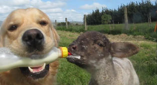 Golden retriever bottle feeds an orphaned lamb