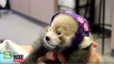 Zoo holds gender reveal party for baby red pandas