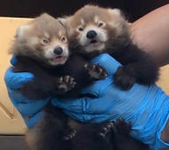 Sleepy red panda cubs get weighed in and it's melting our heart