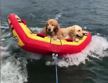 Dogs enjoy themselves on a floating ride!