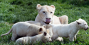 Adorable & rare: White lion quintuplets born at Czech zoo