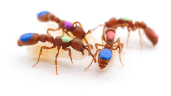 Two independent research teams at New York University and Rockefeller University say they have genetically modified two different species of ants