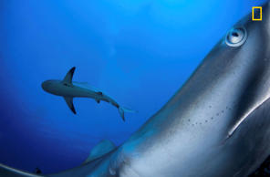 Caribbean reef sharks are usually shy so I placed my camera on a rock where I kn...
