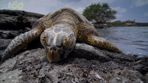 Mating Turtles Leave Tourists Stranded for Days!