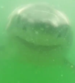 Great white shark attacks camera