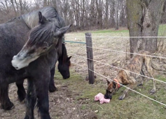 Dog nicks horse's stuffed toy