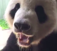 Panda munching snack goes viral