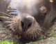 Sleeping sea lion pulls funny faces
