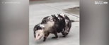 Mommy possum tries to climb step with 9 babies on her back