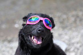Madison the dog watches the solar eclipse in Nashville, Tennessee, U.S., August ...