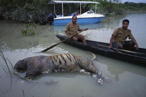 The carcass of a tiger lies in floodwaters at the Bagori range inside Kaziranga National Park in Assam. About 80 per cent of the 480-square-kilometer park has been flooded and more than 100 animal carcass recovered, according to news reports.